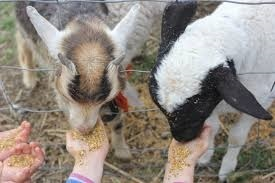 goat, kid, kids, children, animals, baby animals, petting zoo