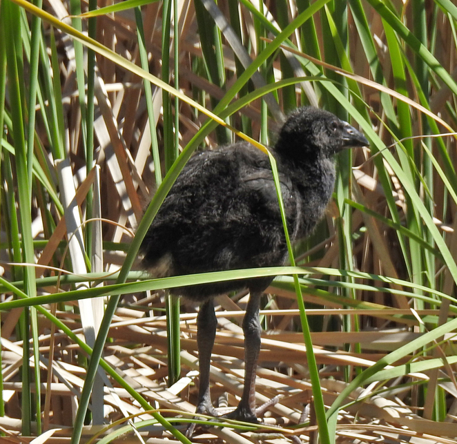 South Australian wildlife, South Australian tourism, Wildlife photography Wildlife stories, Australian birds, Thorndon Park, purple swaamp hen chick