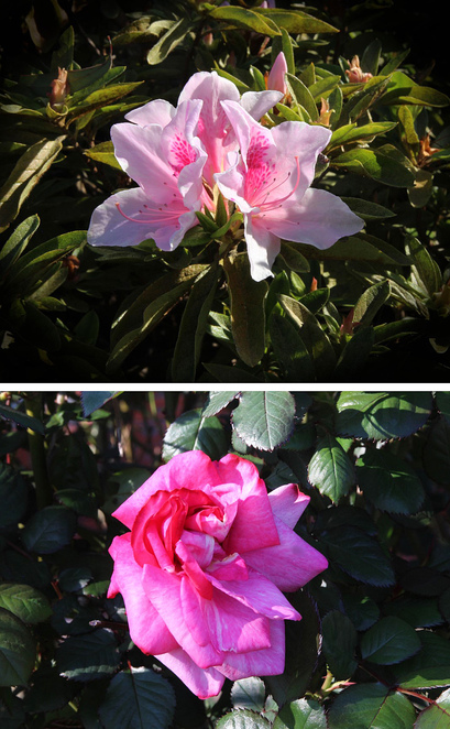 two pink flowers.