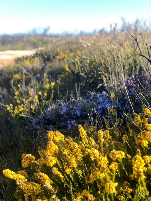 Wildflowers at Cape Solander