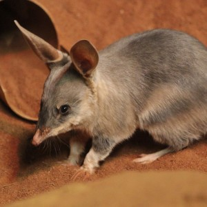 bilby, dryandra, bush, native