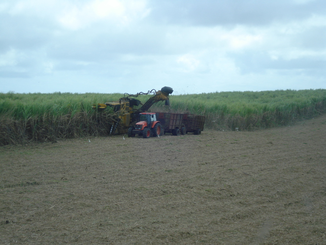 Harvesting the sugar cane