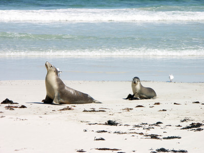 Even the seals on Kangaroo Island are chilled out. Image is from Wikimedia Commons (by Didier B - Sam67fr).