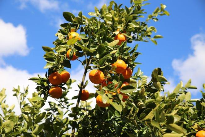 Mandarins, pick your own, Hawkesbury trail, wisemans ferry, fun with kids, pick your own mandarins, day out with kids, family day trips, Sydney local day trips, Sydney. Sydneyfoodie, 3eggsfullblogspot, 3eggsfull, Lilbusgirl, EllenH