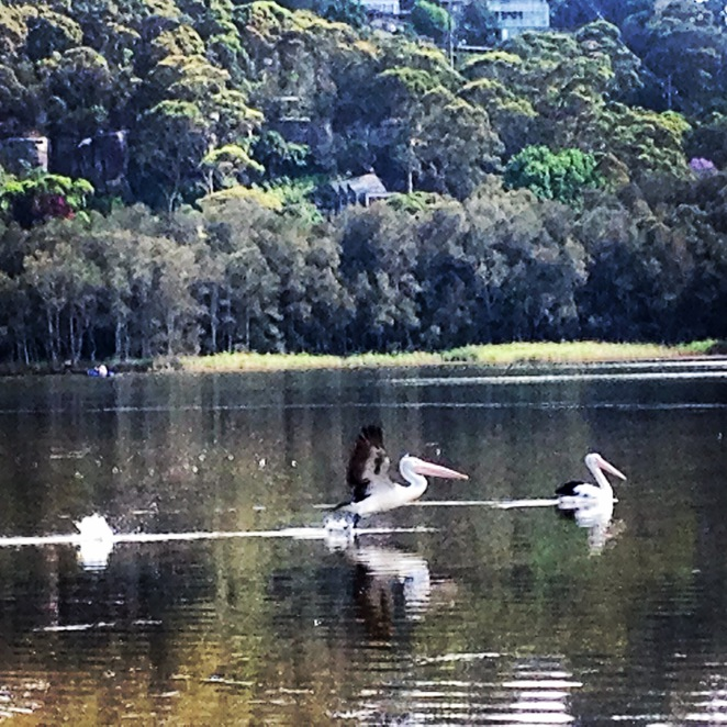 Narrabeen Lake, Narrabeen Lagoon, Birds, Pelicans, Bushwalks