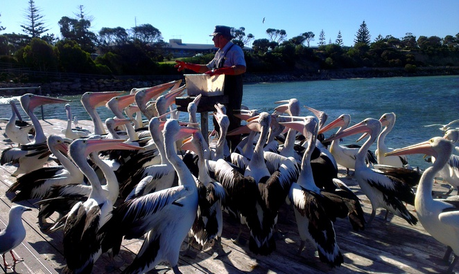 pelican feeding, kingscote, kangaroo island, south australia, tourist attractions