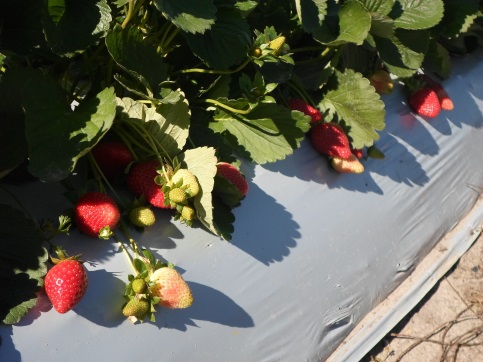rolin farm, strawberry picking, sunshine coast, strawberries