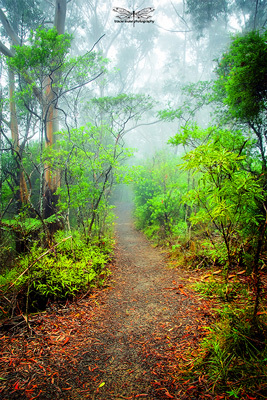 Springbrook, hiking, trail, walking, nature, adventure, exercise, forest, rainforest, bush, hinterland, Gold Coast