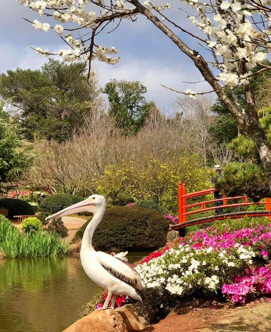 A pelican visiting the Carnival of Flowers at the Japanese Gardens