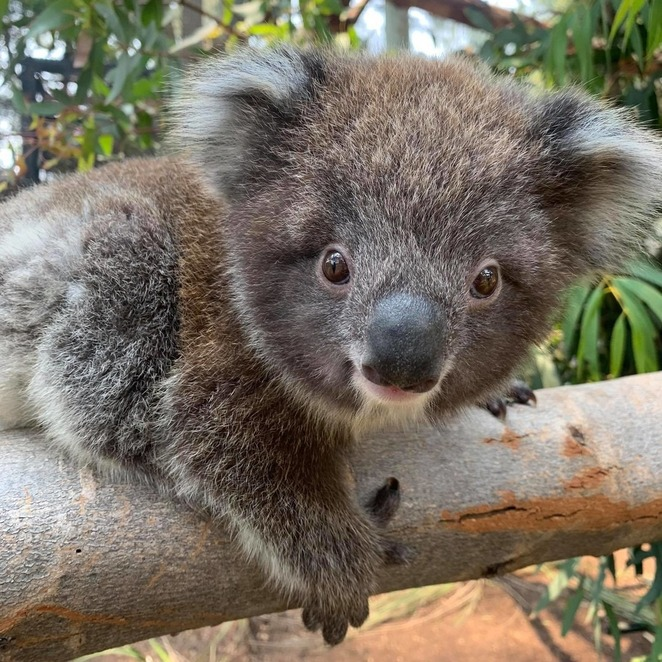 zoos victoria, animals at home, live animal cams, resident live streams, virtual animal encounters, healesville sanctuary, virtual tours, animal talks, visit the zoo online, fun things to do, family fun, kids activities, dinos at the zoo, dino lab