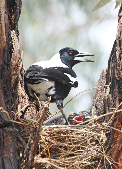 Magpie on nest