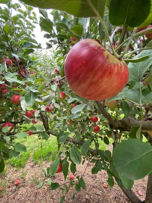 Celebrate Apple Season in Canberra