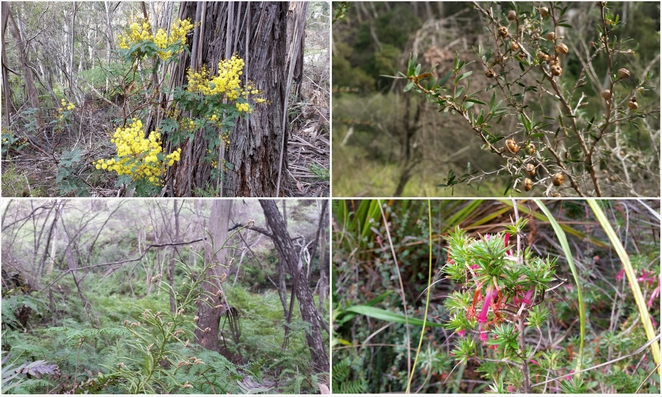 pope's glen track, blackhealth, lookouts, blue mountains, flora