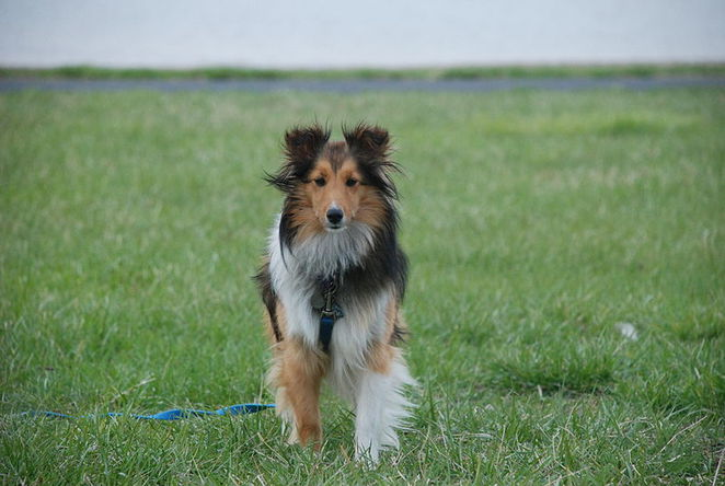 pup, dog, shetland sheepdog, animal, puppy