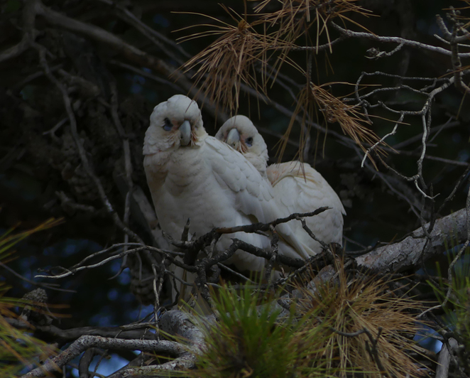 South Australian wildlife, South Australian tourism, Wildlife photography Wildlife stories, Underwater photography, Fleurieu Peninsula, Rapid Bay, corella