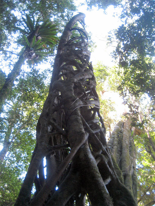 An example of a strangler fig