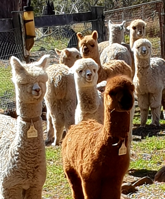 Alpaca, farm, Australia, family, nature, pets