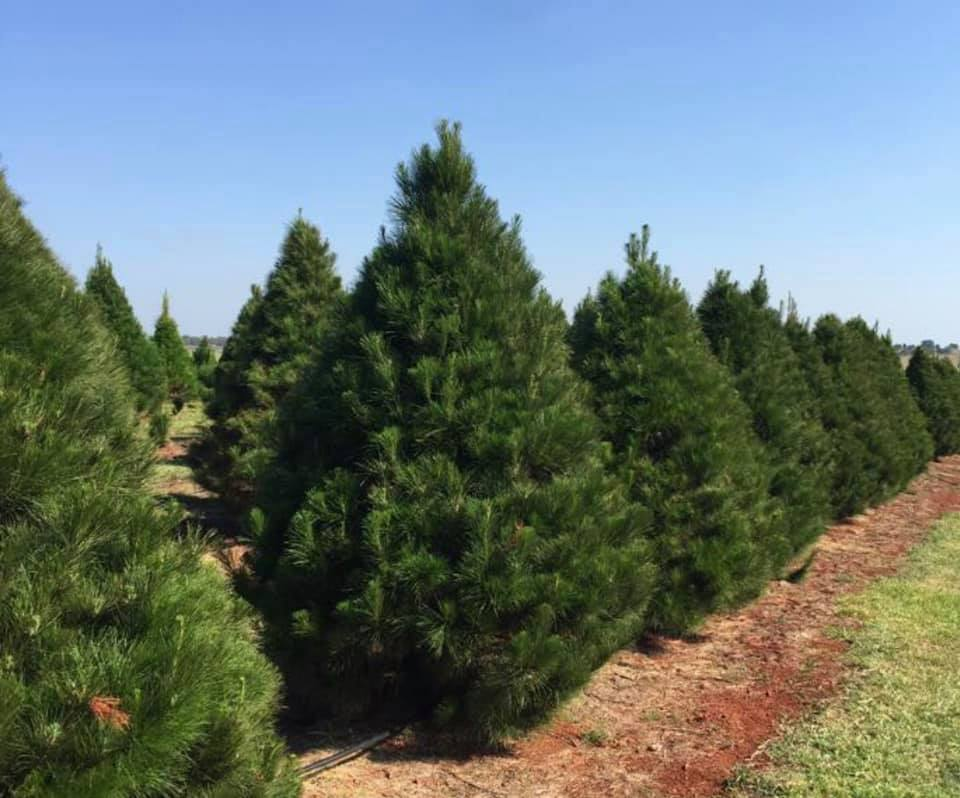 Where Can You Buy A Real Christmas Tree In Brisbane Brisbane