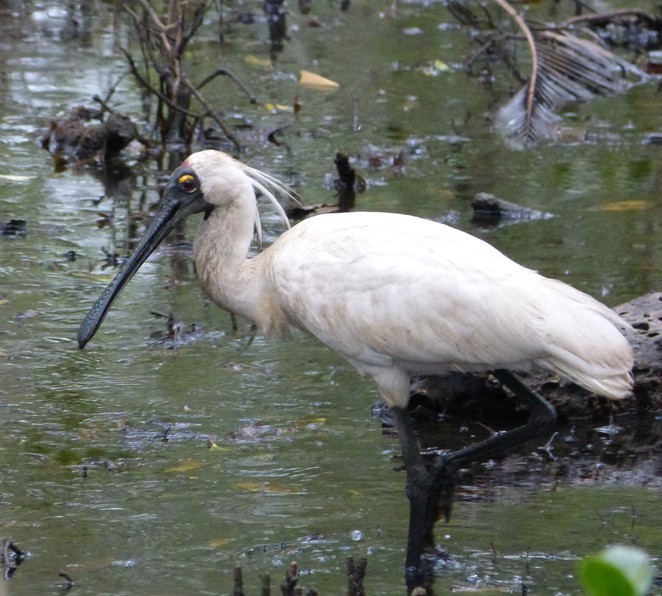 Create-a-Tour, Royal Spoonbill, Wynnum Wetlands, mangroves, mangrove boardwalk