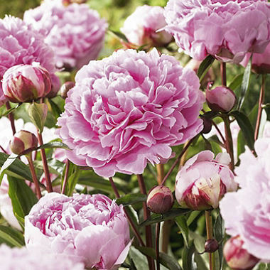 https://www.visitmacedonranges.com/events/romswood-peony-farm-open-days/