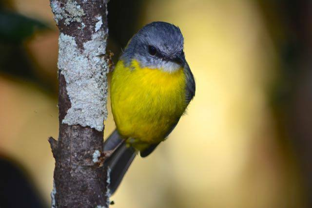 An eastern yellow robin watching from the rainforest