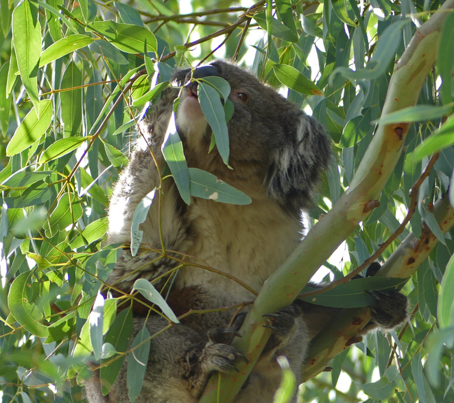 South Australian wildlife, South Australian tourism, Wildlife photography Wildlife stories, Burnside, Second Creek, koala