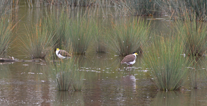 Two Plovers