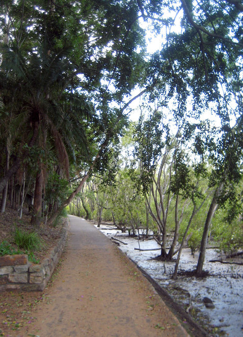 The mangrove boardwalk at the City Botanic Gardens is no more, but the mangroves are still there