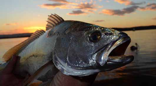 fishing, mulloway, narrows