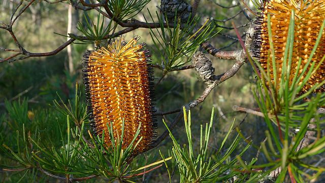 Hairpin Banksia flower