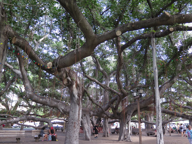 amazing tree in maui, best family holidays, things to do in maui other than get married, things to do in maui other than honeymoon, fun family holidays, family holiday ideas, kids in Hawaii, Hawaii for kids