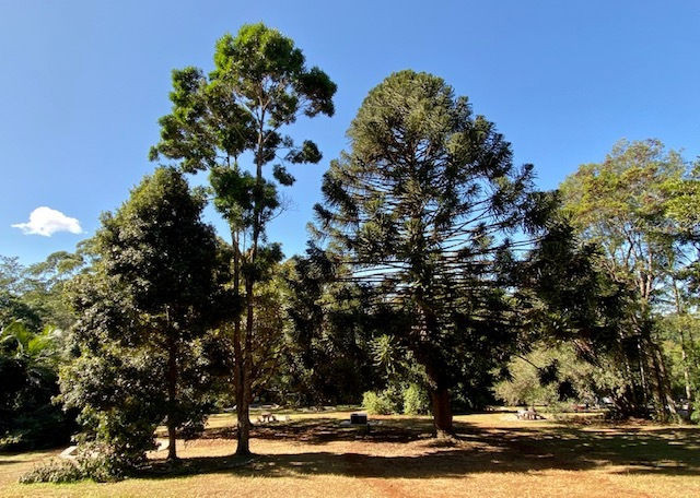 Iconic Bunya Pines are one of the beautiful native trees at Maiala Day Use Area