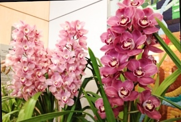 Orchid, Prize-Winning,