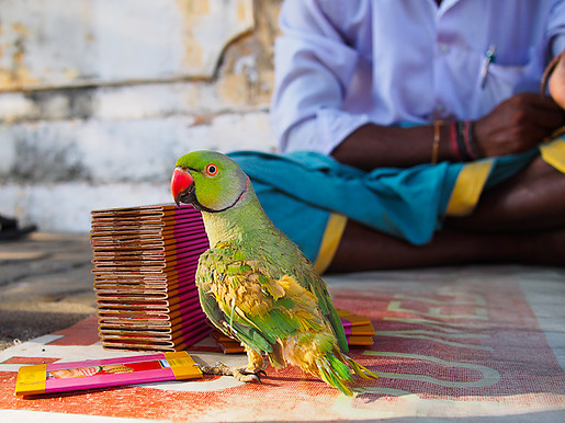 Parrot astrologer, Indian astrology, parakeet astrologer, Little India Singapore