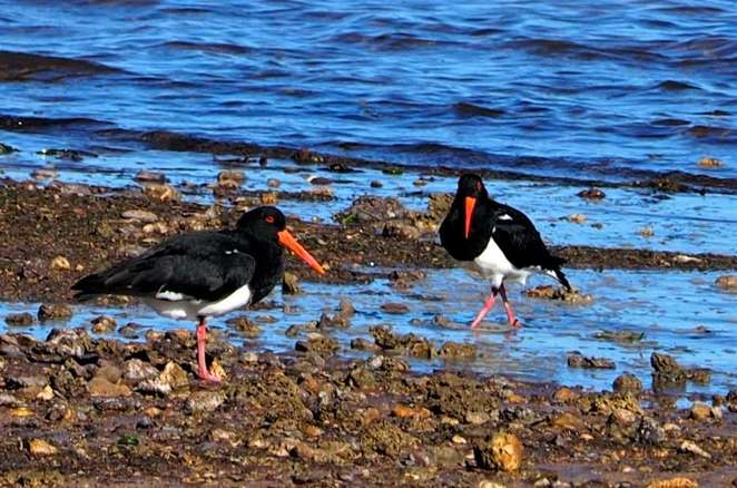 Pied Oystercatchers- Dorothy Harkins photo