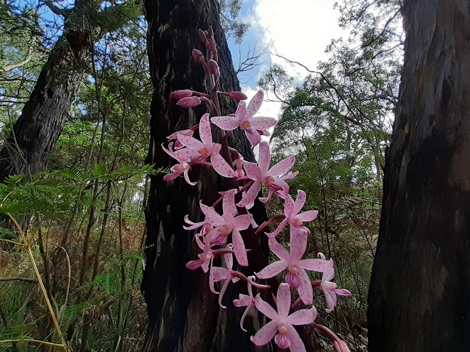 Pink orchids, The Gurdies Nature Conservation Reserve