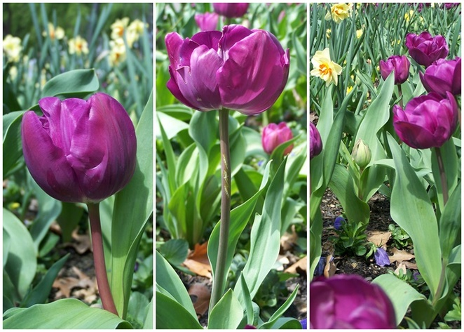 spring festivals, tulips, canberra, ACT, what to see after Floriade, flowers, floral events, floral displays, gardens, canberra region, what can grow, bulbs,