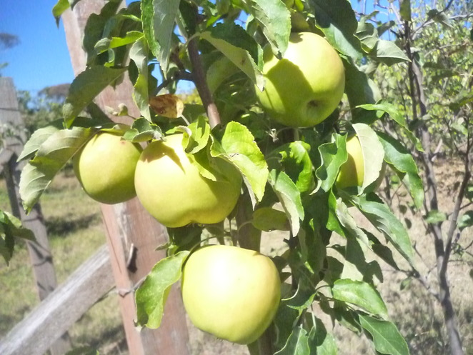 apple orchards in canberra