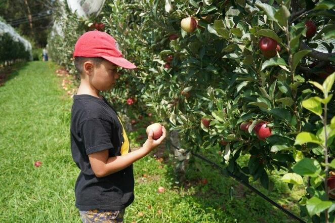 Apples, pick your own, Shield orchard, Julie apple, fun with kids, family day out, Bilpin, Hill Billy Cider, pears, farm, orchard, lilbusgirl, review
