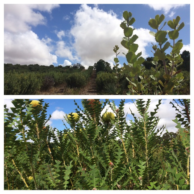 Banksia and Protea Plantations