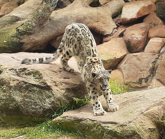 billabong zoo, snow leopard, port macquarie, NSW, australia, zoo, kids, children, family, tourist attractions, family, things to do,