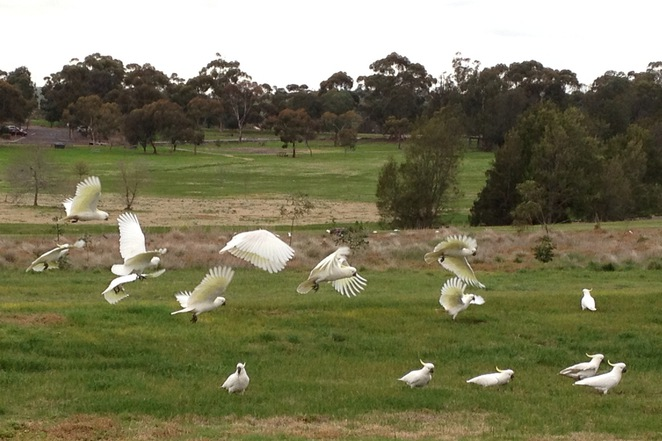 Birdlife of Brimbank Park, Brimbank Park, Brimbank Park Nature Trail, The Heart Foundation, Green Walks, Victoria Walks, Parks Victoria, Great Places to Walk, Michellina van Loder, Frogs, Leaping Lizard Cafe, Urban Wildlife