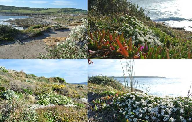 Coastal flowers Cape Banks
