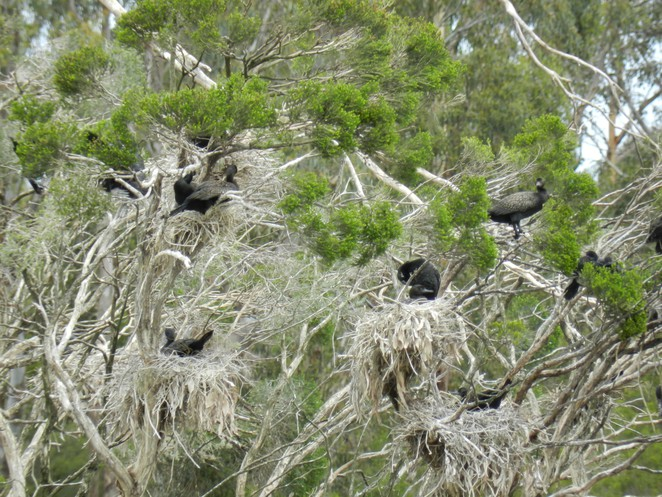 cormorants, nesting cormorants, birdwatching in melbourne, jells park, parks in melbourne,