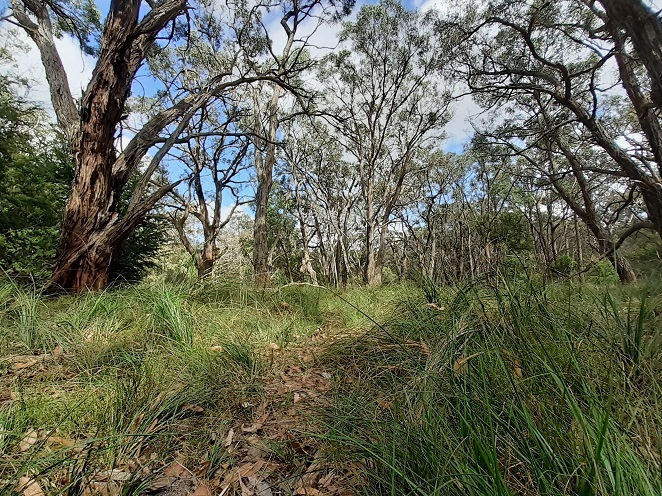 Eucalypts, grass, The Gurdies Nature Conservation Reserve