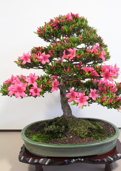 Geelong Bonsai Club