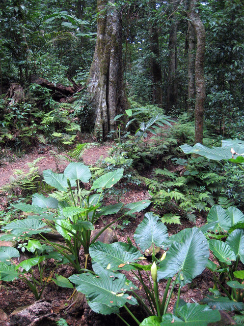 Walking to Mt Cordeaux goes through beautiful Rainforest