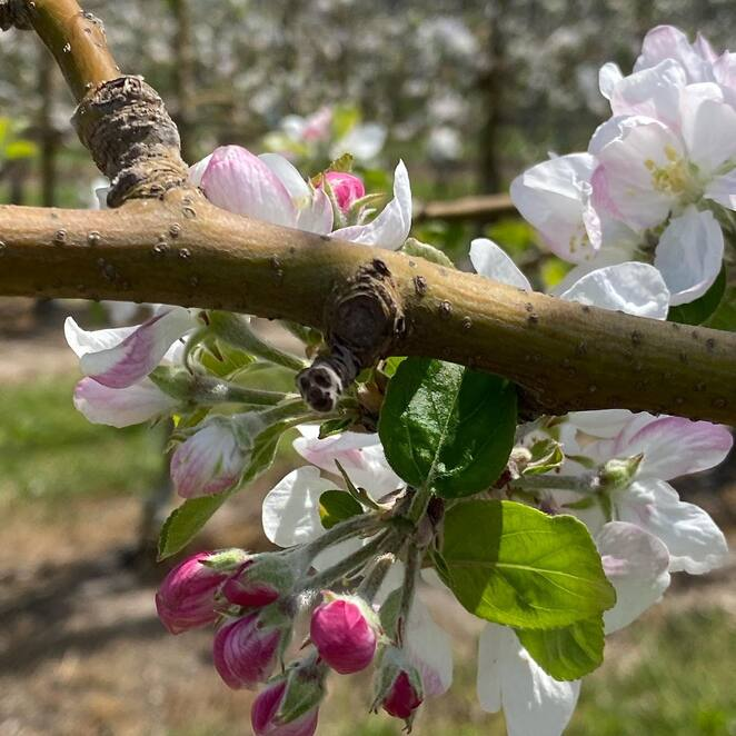 Photo of spring time courtesy of Nicoletti Orchard