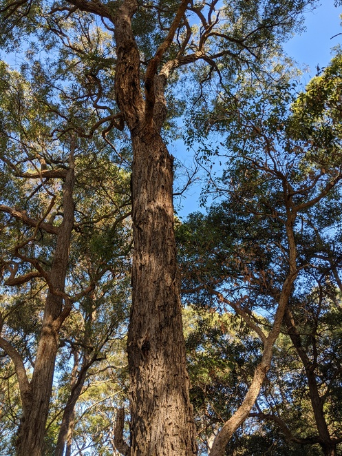 Sydney Turpentine Ironbark Forest, endangered forests Sydney, endangered forests Australia