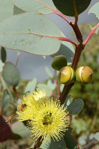 Bell,fruited,Mallee